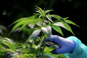 Cannabis constituency? Israeli election rivals warm to pot