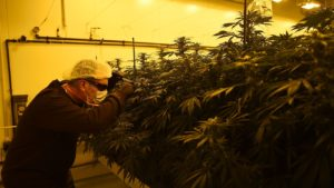 Cannabis Watch: Aurora Cannabis leads sector after stock is named Top Pick at Cowen